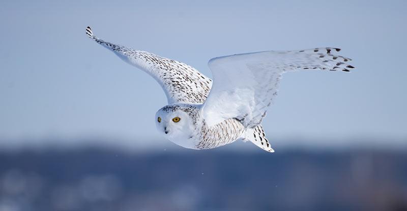 Животные тундры: Белая сова