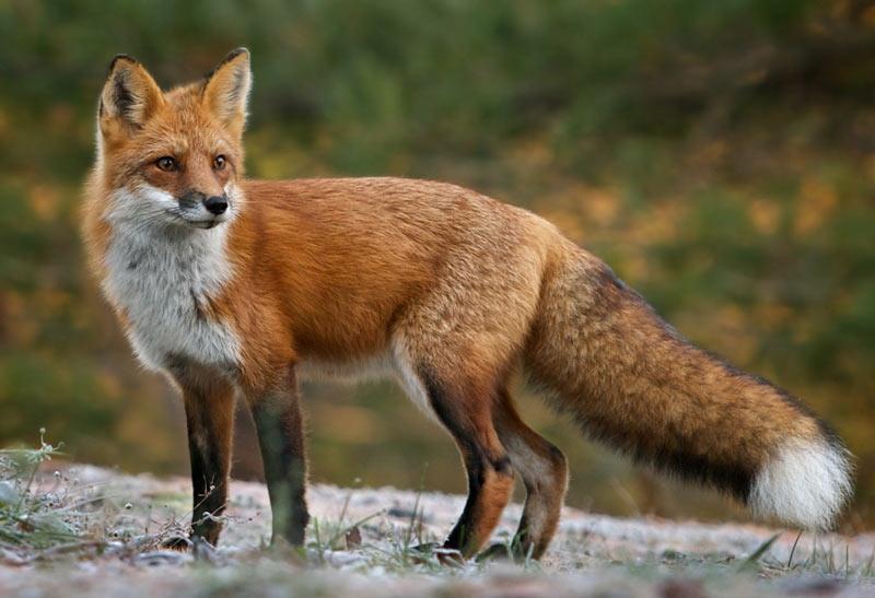 Животные тундры: Рыжая лисица