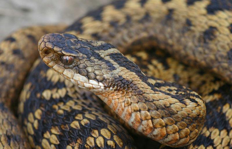 Змеи Урала: обыкновенная гадюка