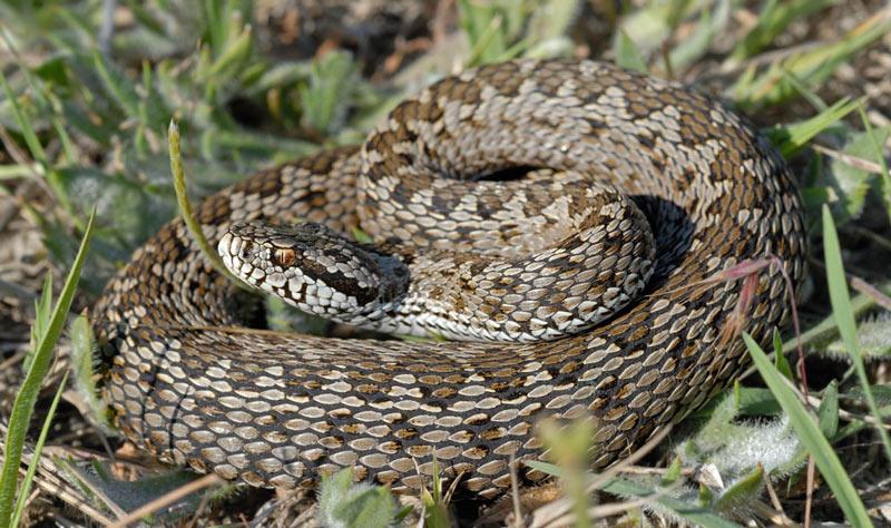 Змеи Урала: степная гадюка