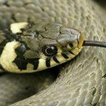 Змеи Урала: ядовитые и неядовитые