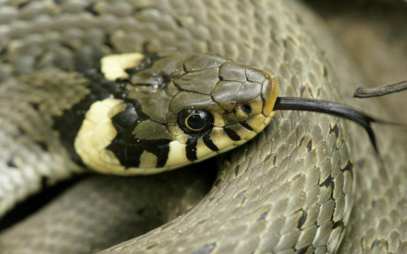 Змеи Урала: обыкновенный уж