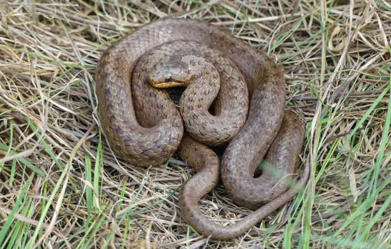 Змеи Урала: обыкновенная медянка