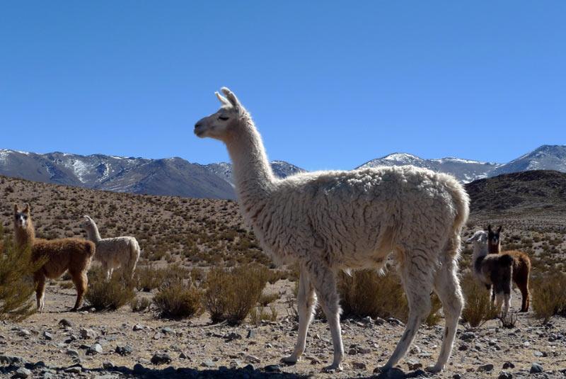 Ламы– социальные, стадные, суточные животные, живущие в группах, численностью до 20 особей