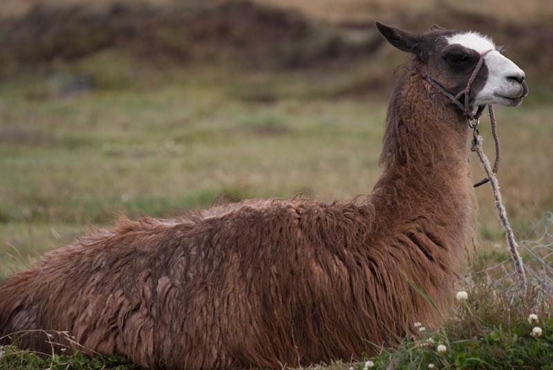 Ламы приживаются, практически, в любых условиях