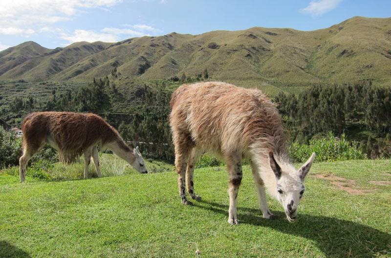 Ламы – исключительно травоядные животные