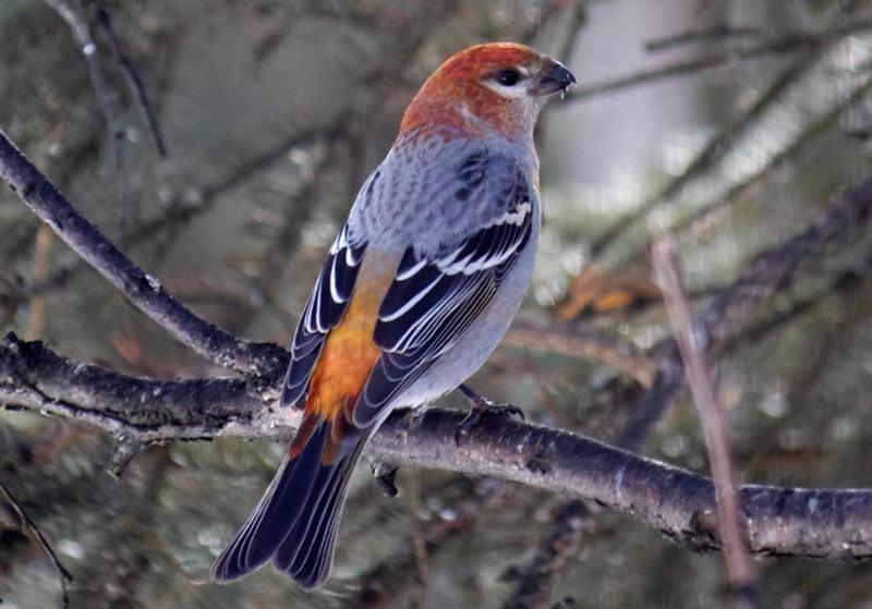 Щур – некрупная птица из отряда воробьиных