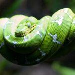 Собакоголовый удав, или зелёный древесный удав (лат. Corallus caninus)
