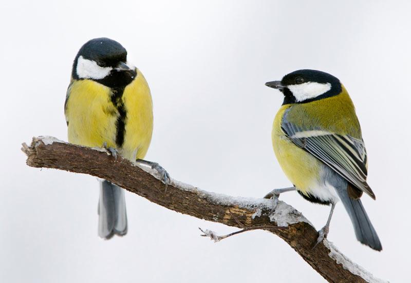 Все морозоустойчивые пернатые научились добывать еду при обилии снега и в суровые морозы