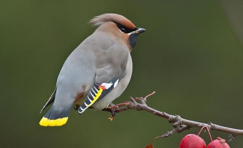 Зимующие птицы: свиристель