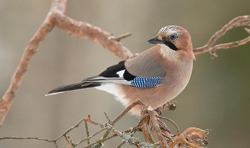 Зимующие птицы: сойка