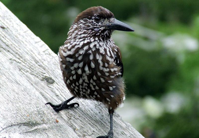 Зимующие птицы: кедровка