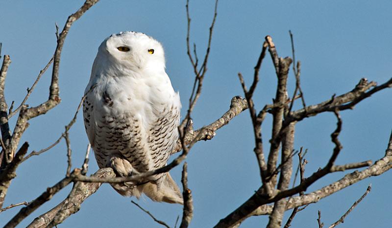 Зимующие птицы: белая сова