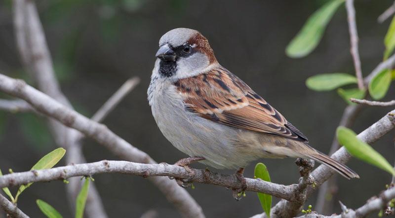 Зимующие птицы: домовый воробей