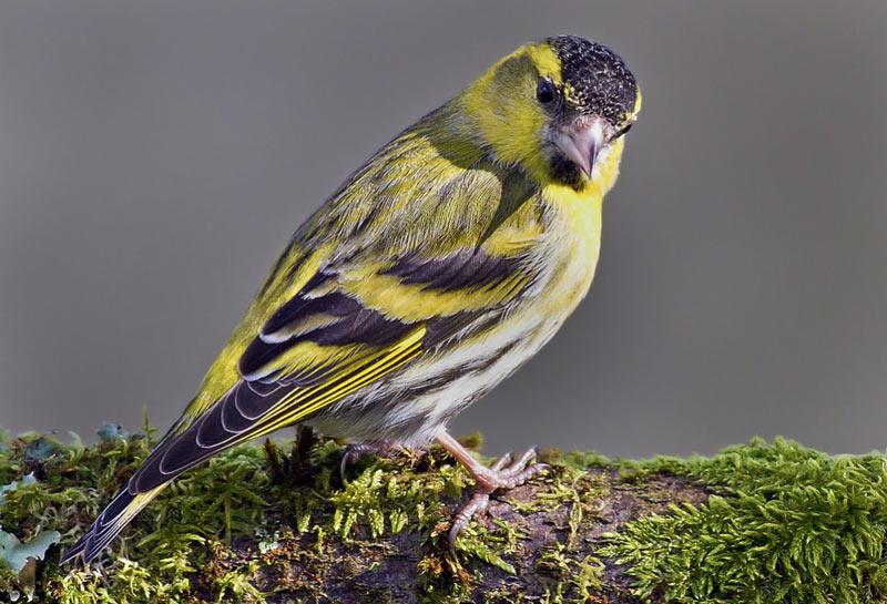 Зимующие птицы: чиж