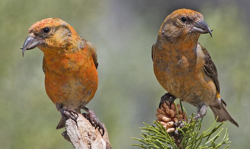 Зимующие птицы: клёст-еловик
