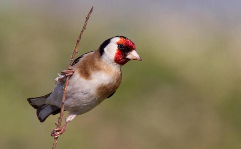 Зимующие птицы: черноголовый щегол