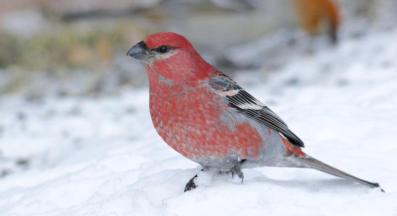 Зимующие птицы: щур