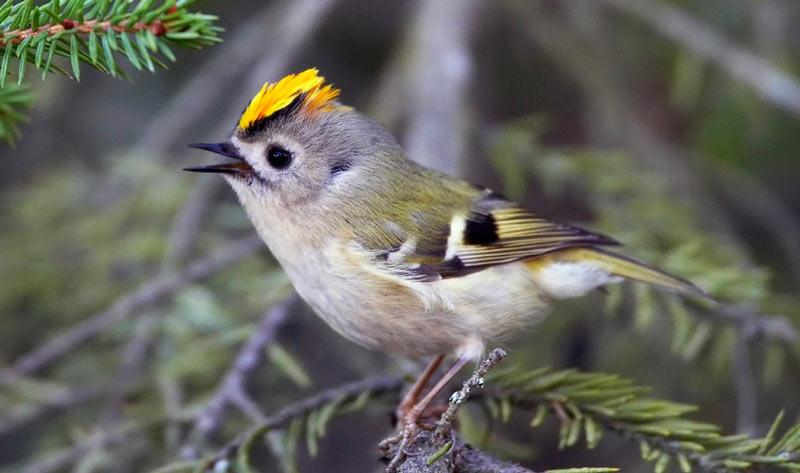 Зимующие птицы: желтоголовый королёк
