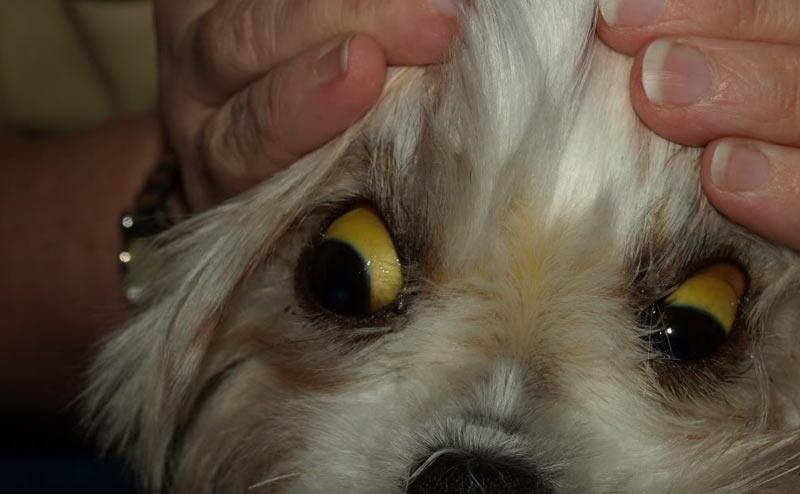 Причиной смерти собаки, поражённой желтушной формой, становится появление токсико-инфекционного шока, сильнейшая общая интоксикация и обезвоживание организма