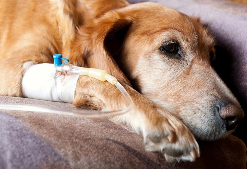 После излечения у животного формируется стойкий иммунитет, который действует в течение нескольких лет