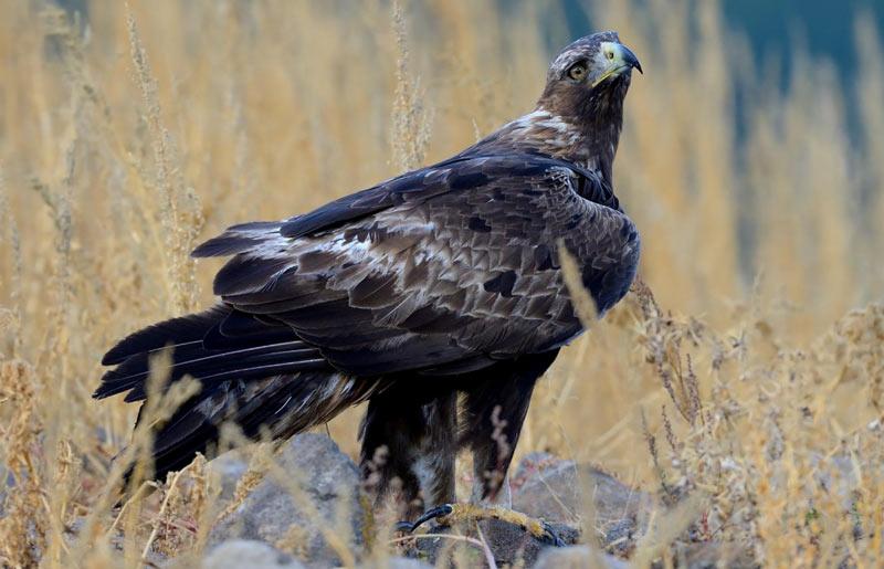 Птицы Краснодарского края: Беркут