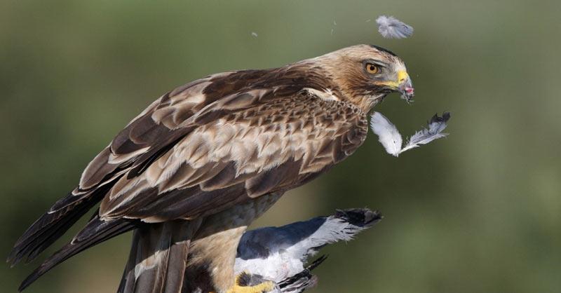 Птицы Краснодарского края: Орёл-карлик