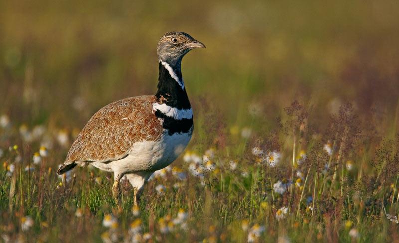 Птицы Краснодарского края: Стрепет
