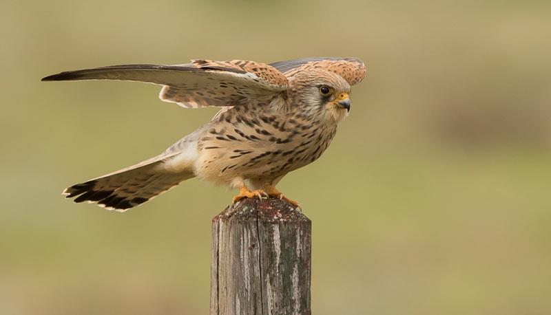 Птицы Краснодарского края: Степная пустельга