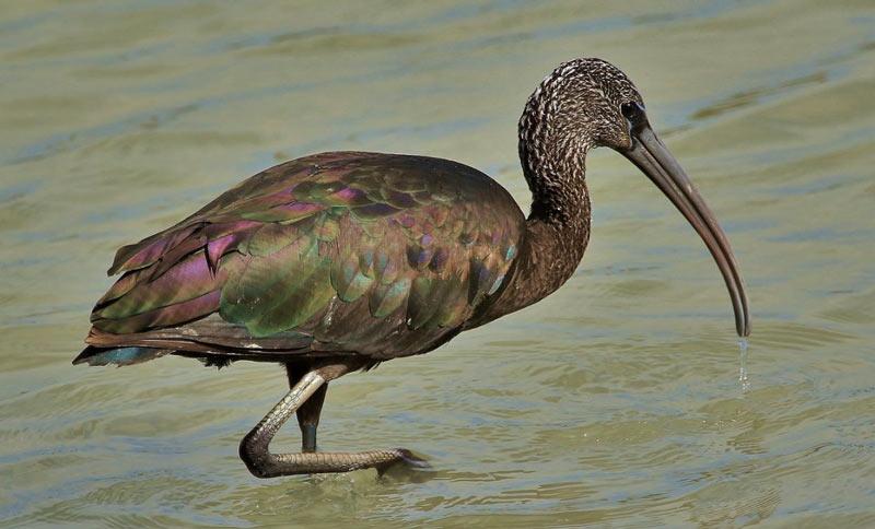Птицы Краснодарского края: Каравайка