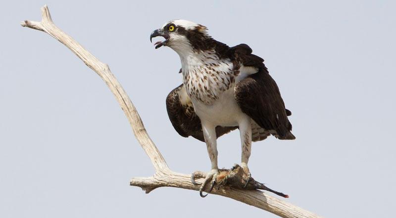 Птицы Краснодарского края: Скопа