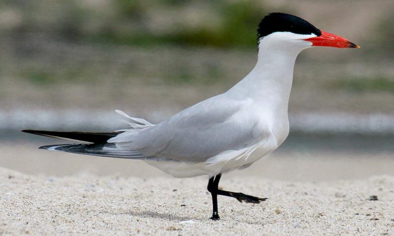 Птицы Краснодарского края: Чеграва