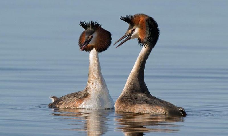 Птицы Краснодарского края: Чомга