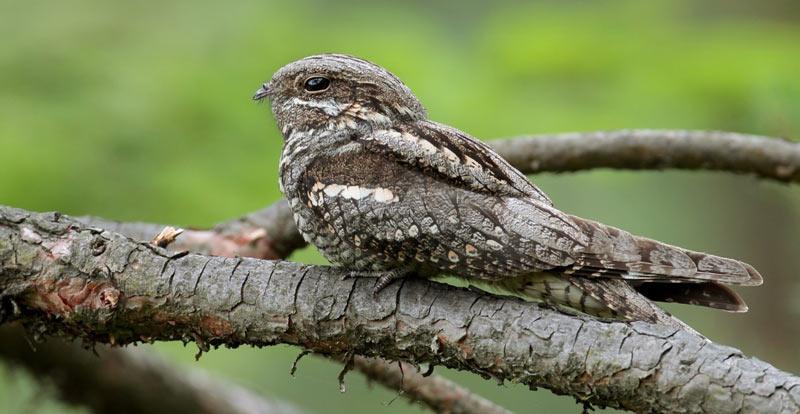 Птицы Урала: Козодой
