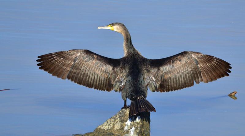 Птицы Урала: Большой баклан