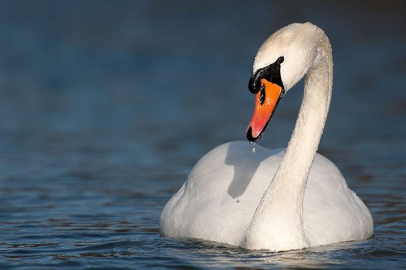 Птицы Урала: Лебедь-шипун
