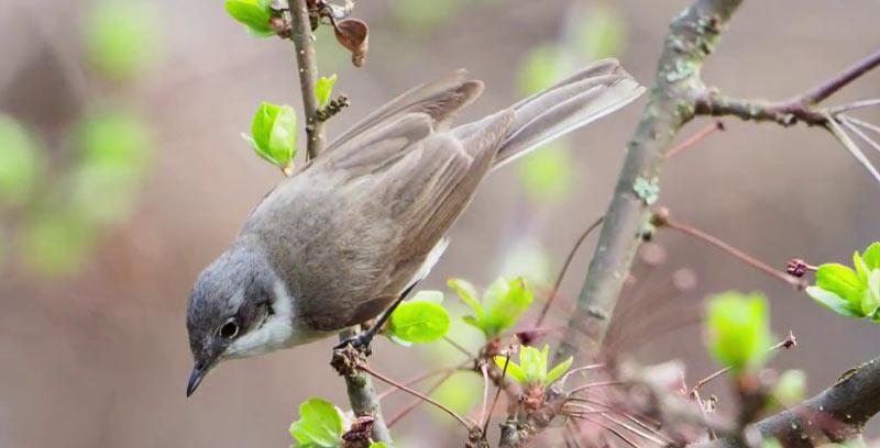 Птицы Урала: Славка-завирушка