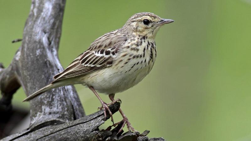 Птицы Урала: Лесной конёк