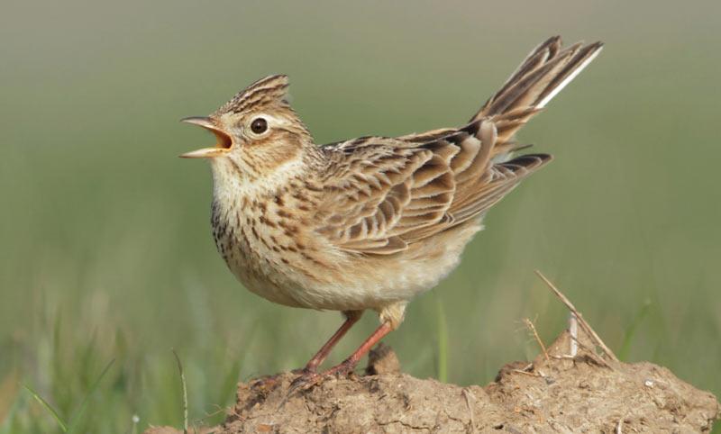 Птицы Урала: Полевой жаворонок