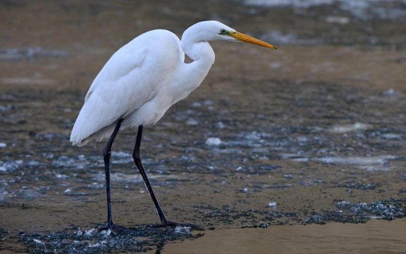 Птицы Урала: Большая белая цапля