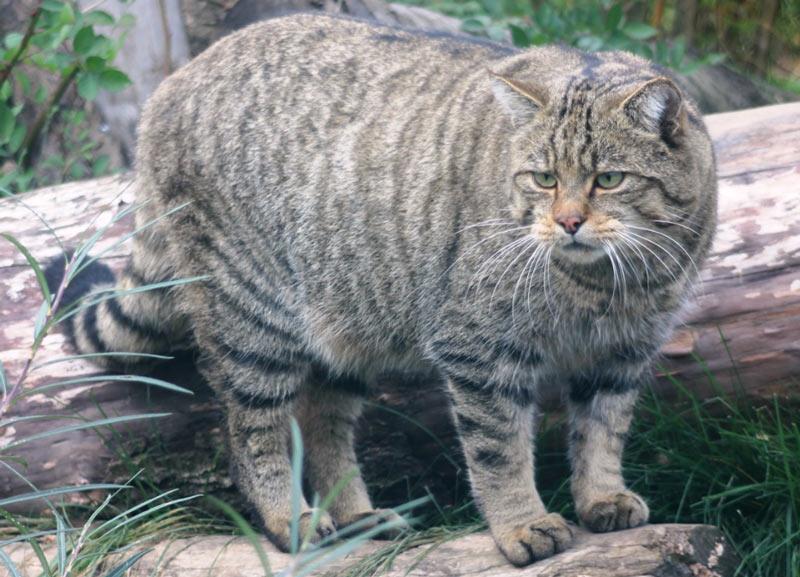 Животные краснодарского края: Кавказский лесной кот