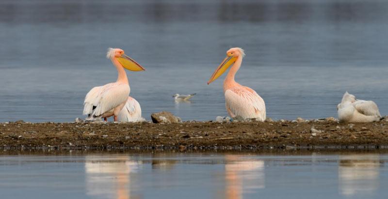 Животные краснодарского края: Розовый пеликан