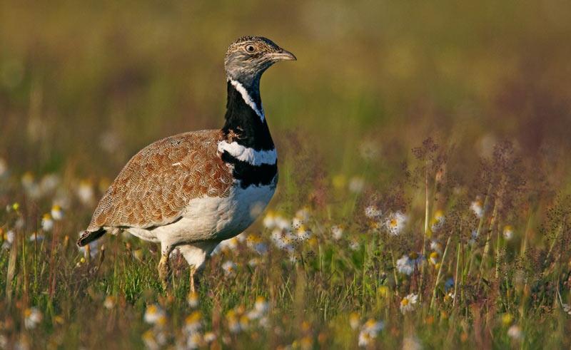 Животные краснодарского края: Стрепет