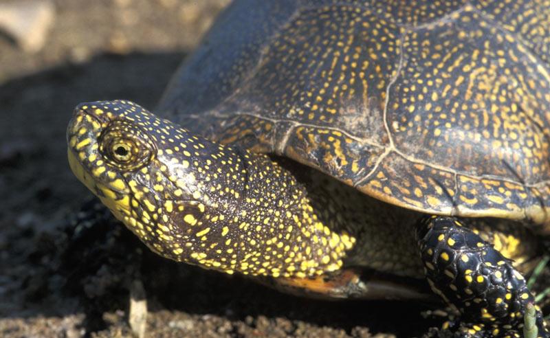 Животные краснодарского края: Черепаха болотная