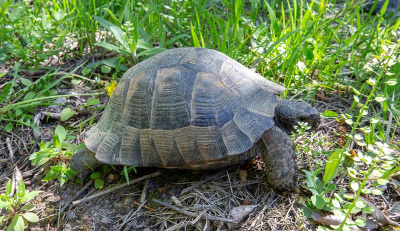 Животные краснодарского края: Черепаха средиземноморская