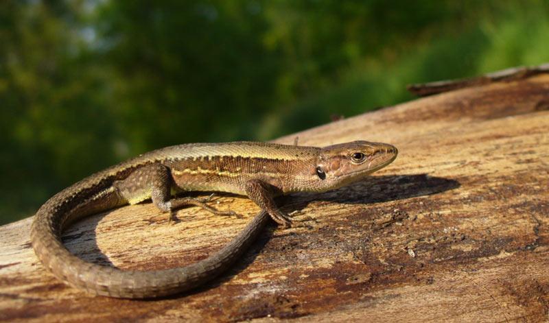 Животные краснодарского края: Ящерица луговая
