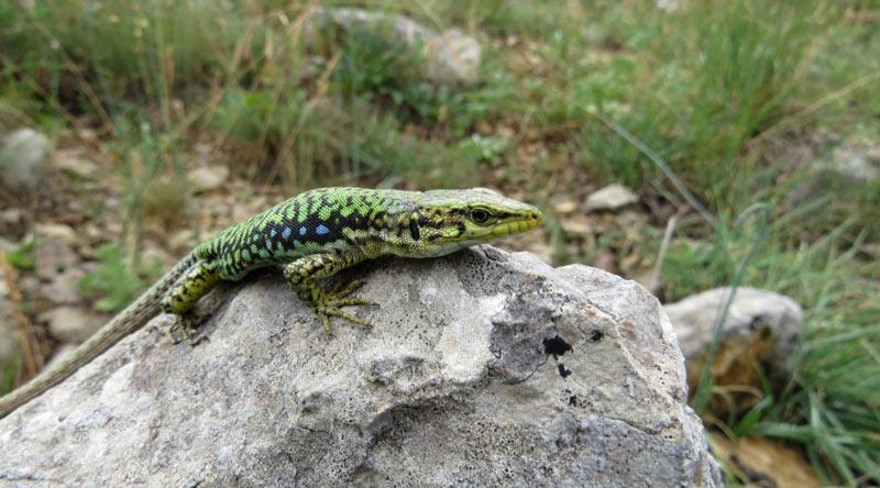 Животные краснодарского края: Ящерица скальная