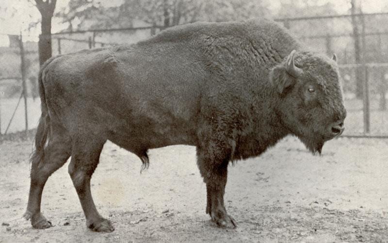 Животные краснодарского края: Горный зубр