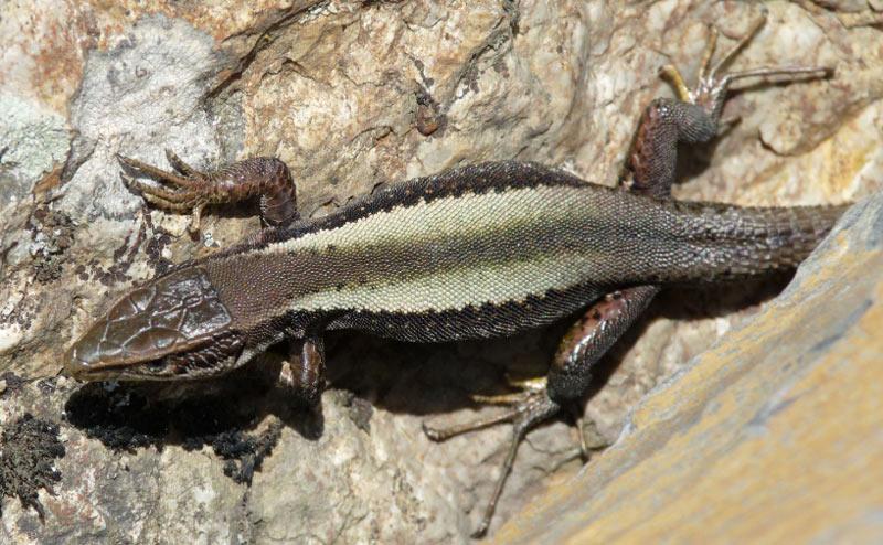 Животные краснодарского края: Ящерица кавказская