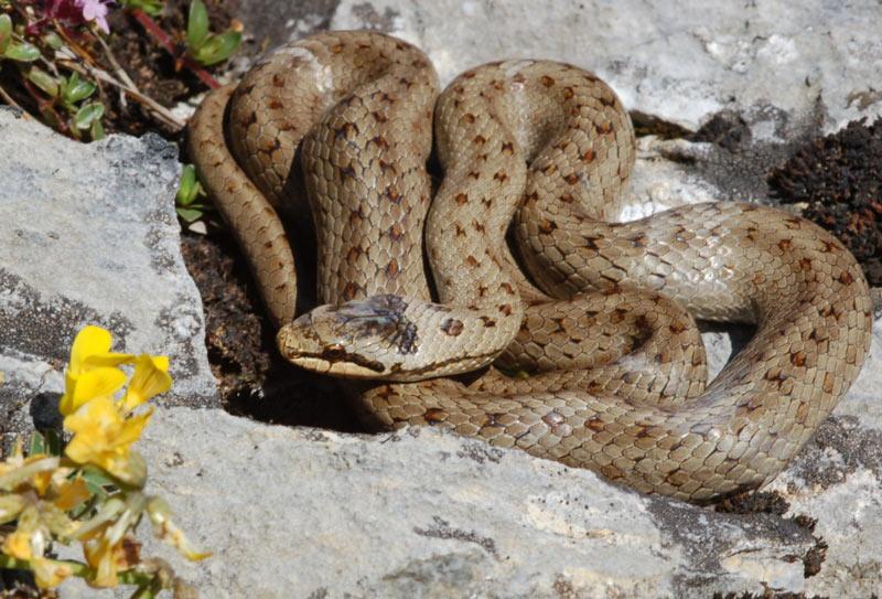 Змеи Краснодарского края: Медянка обыкновенная